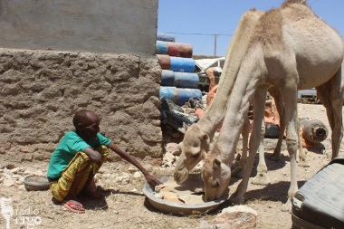A herder called Abdi Awed Guunje feeds his camels some scraps of cardboard in Laascaanod town (Credit: Radio Ergo / Farah Dubad)