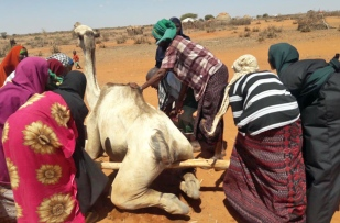 Weak from lack of food and water, a camel needs help to get back onto its feet (Credit: Dahir Mumin/Norwegian Refugee Council)